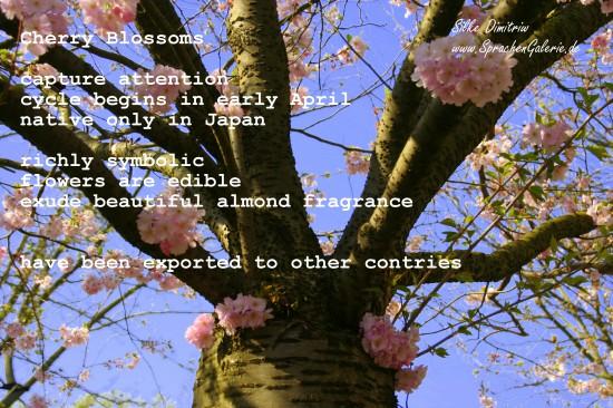 Cherry Blossom Time – Kirschblütenzeit in Hamburg